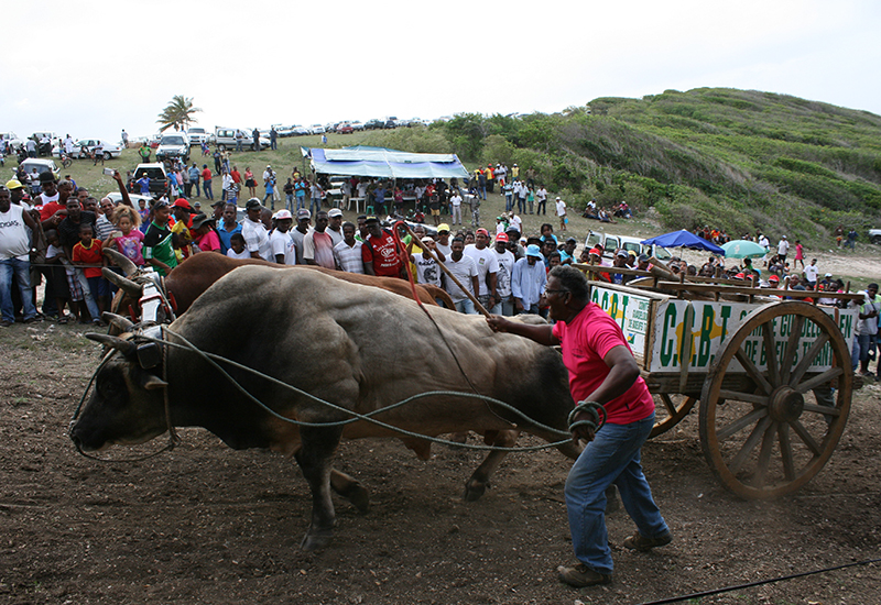 Pulling ox competition on the Anse Laborde site