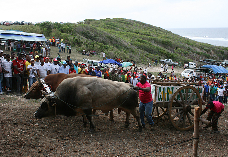 Anse-Bertrand. In June, pulling oxen competition at Anse Laborde
