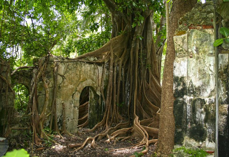 "Former jail of Petit-Canal, in Guadeloupe. The invading roots of the ""cursed fig tree"""
