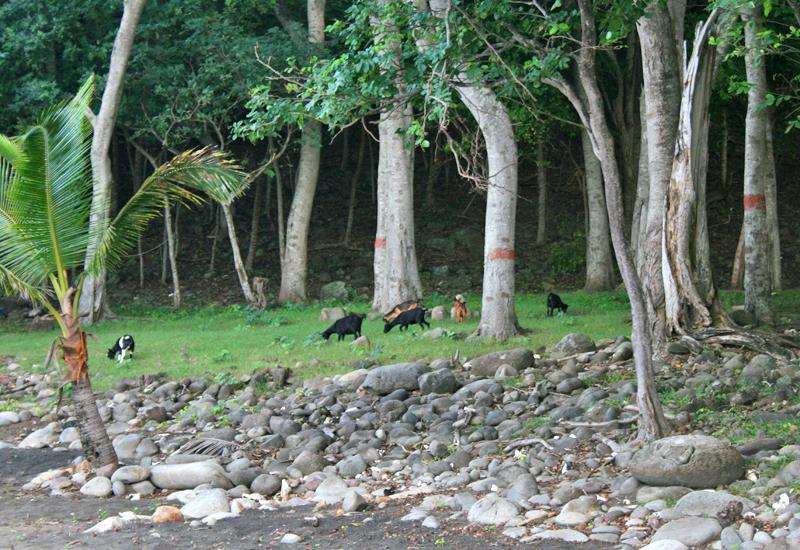 Anse Crawen, on the way, carefree goats