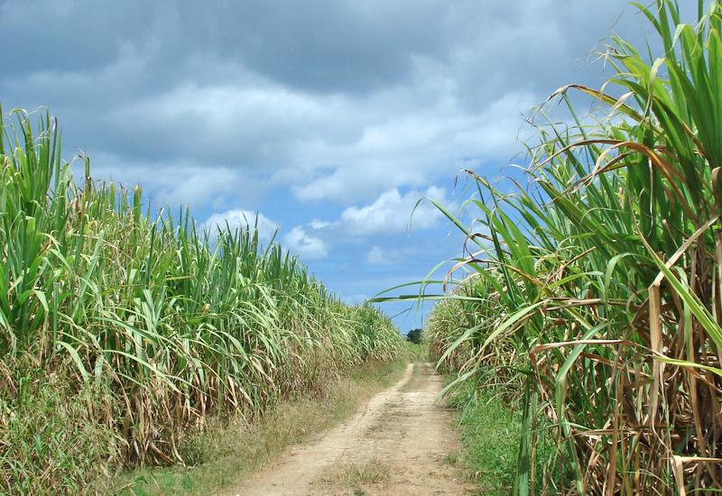 In the middle of the cane fields at Dupuy