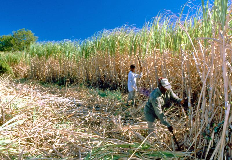 Workers cutting cane