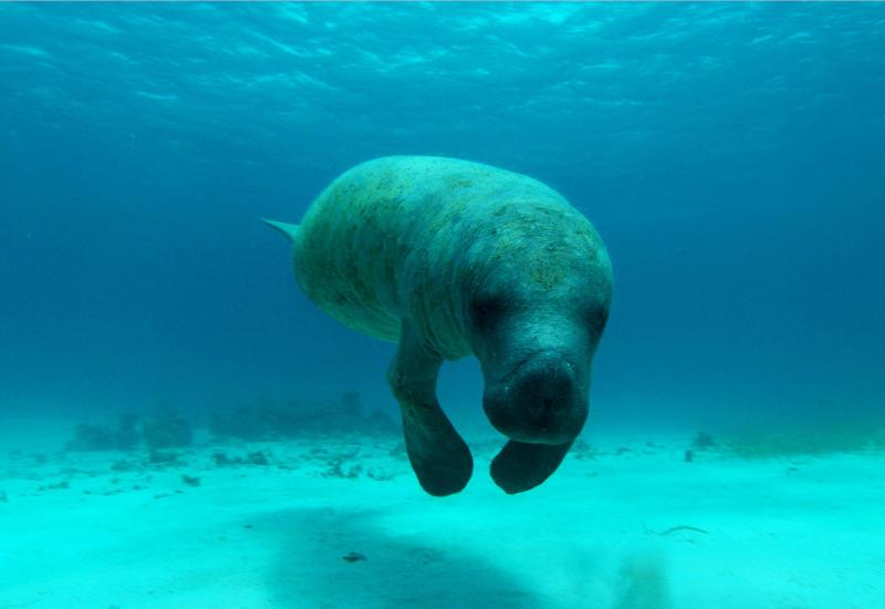 The manatee, carefully preserved host of the place