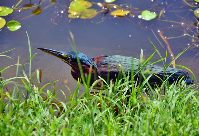 The kio, or green heron, on the lookout for prey