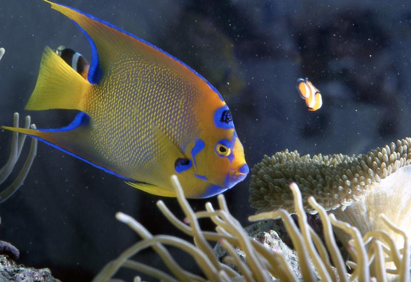Aquarium of Guadeloupe, city of Le Gosier: angel fish