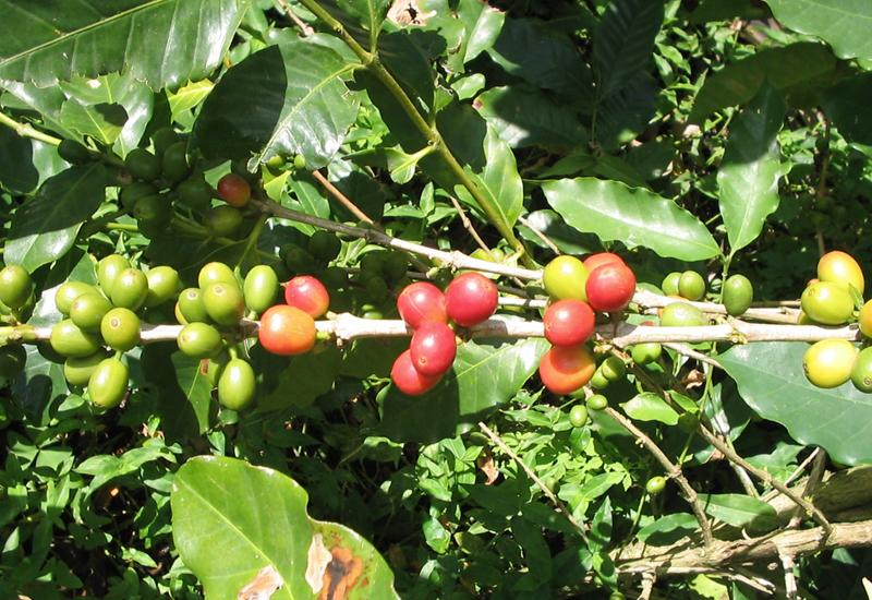 Coffee tree at Domaine de Vanibel