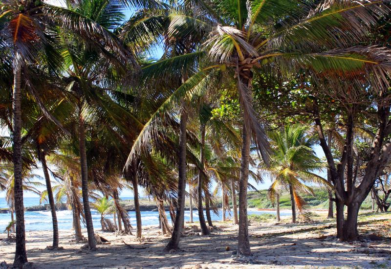 Anse d'Echelle, island of La Désirade, Guadeloupe: magnificent coconut grove