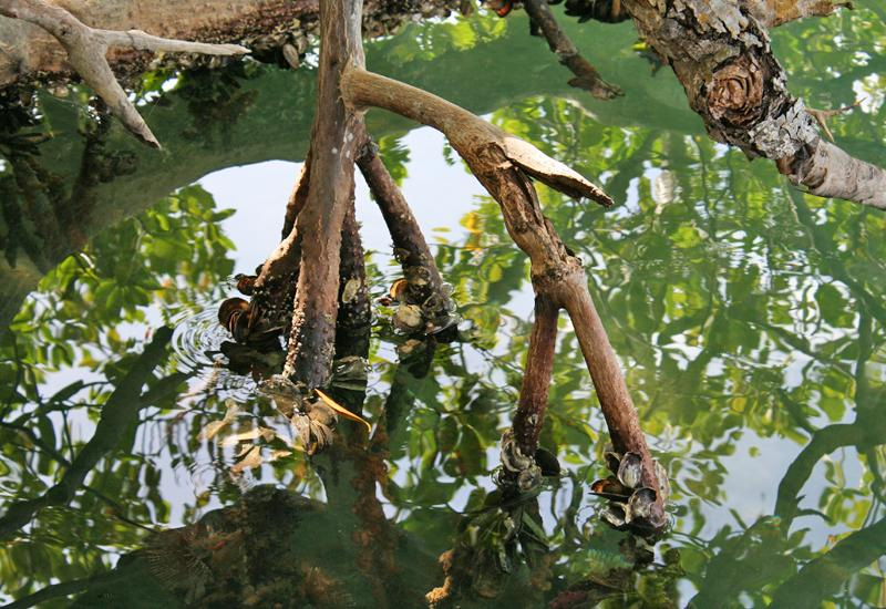 Aerial roots of mangroves with submerged roots, allowing the development of mussels, mangrove oysters, sponges